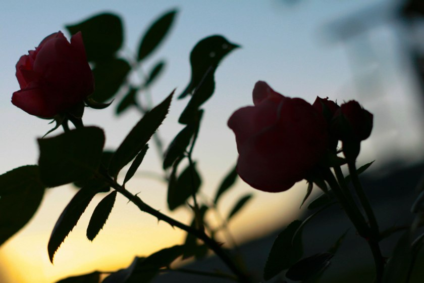 roses-against-sky-small